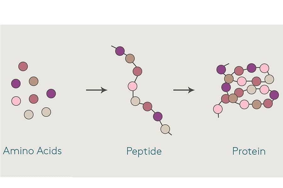 Nguyên lý hoạt động của Peptide
